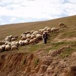 shepherd-in-wilderness